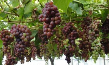 uvas pisqueras